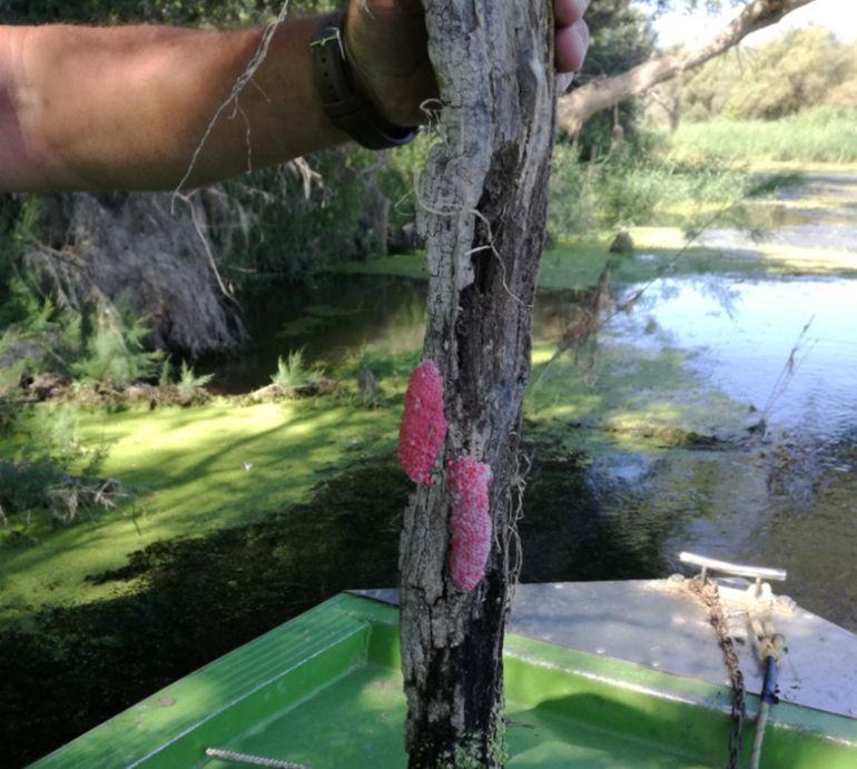 Imatge de postes de caragol massana retirades al tram del riu Ebre a Miravet.
