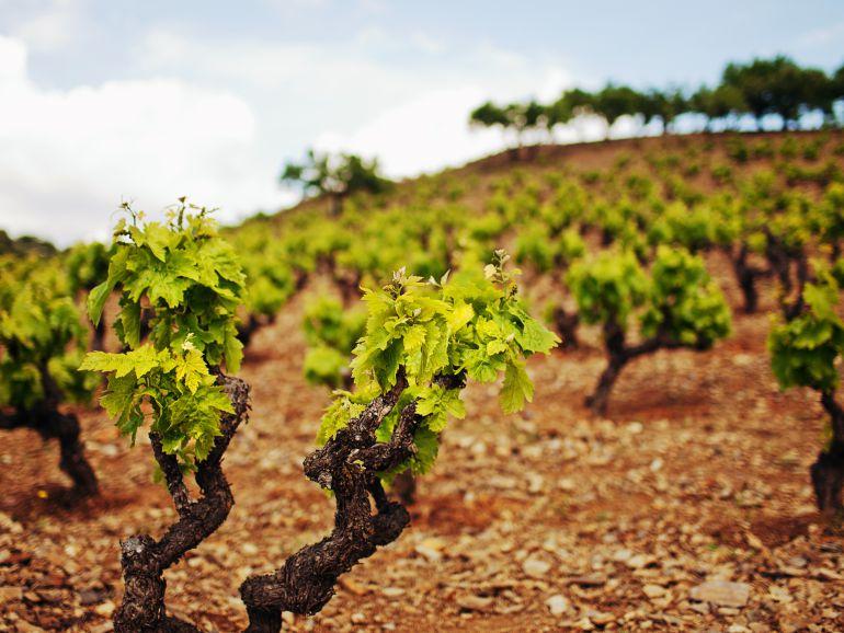 El viñedo también recibirá ayudas por la sequía
