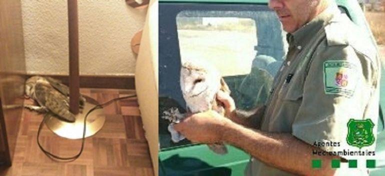 Un agente medioambiental rescata una lechuza en una vivienda en Aranda