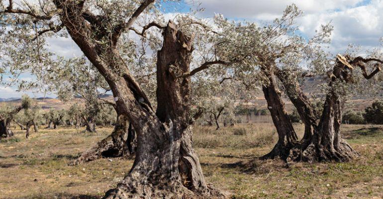 Apadrinaunolivo.org pretenden transformar el estado de abandono del medio rural de una manera social, solidaria y sostenible