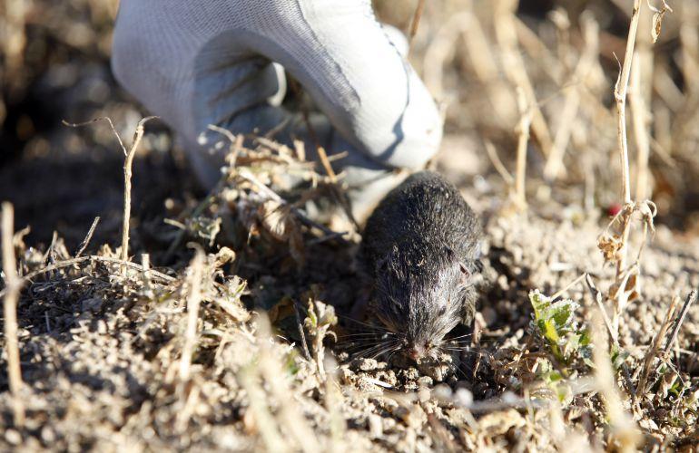 El topillo campesino contribuye al aumento de la tularemia en el medio agrario