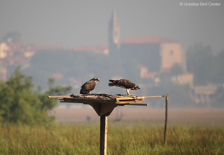 N-3, el padre adoptivo de las nuevas águilas pescadoras de Urdaibai