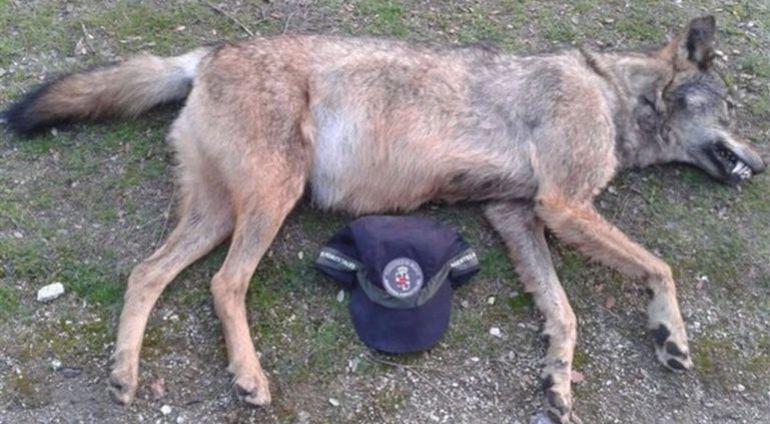 Cadáver del lobo encontrado en Manzanares el Real en 2016