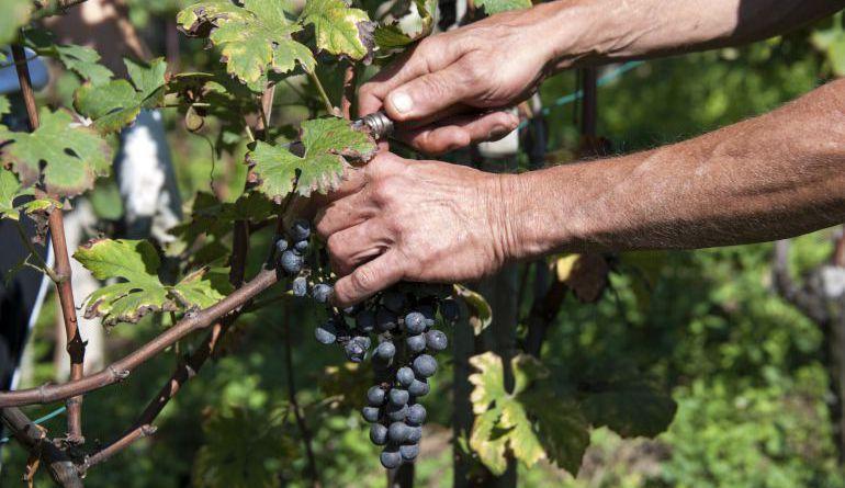 La justicia autoriza un sondeo para un riego de socorro de unos viñedos en Chinchilla