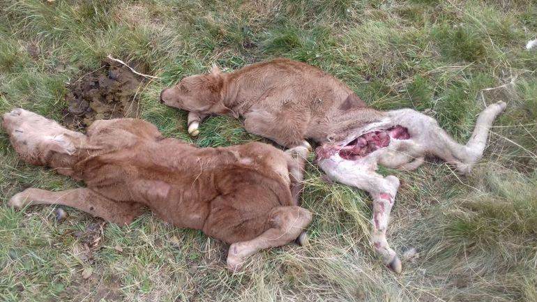 Los buitres matan a dos terneros en Villar de Santiago