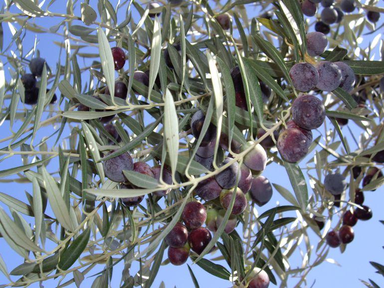 Sequía en el olivar
