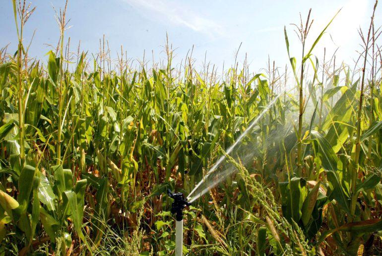 Riego por aspersión en una plantación de maíz
