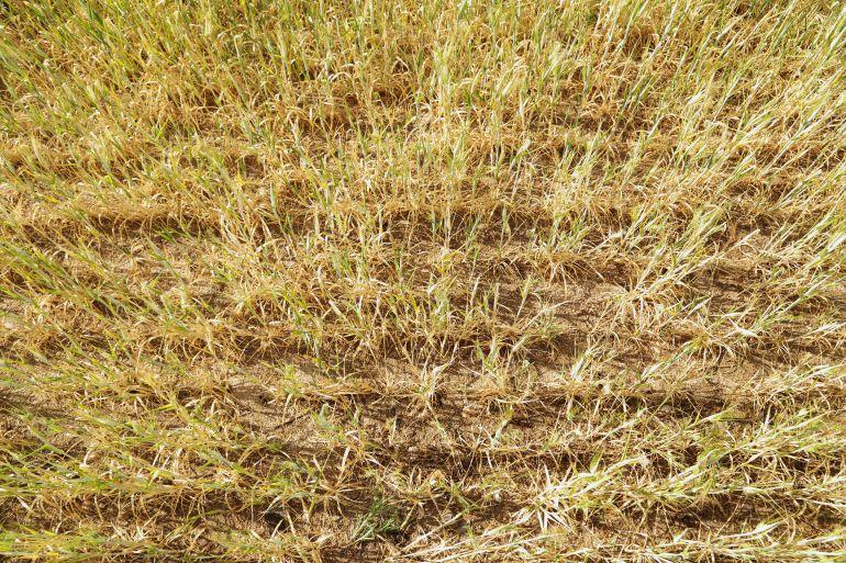 Ávila es la provincia con peores rendimientos en el cereal