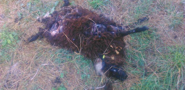 Los restos de una oveya xalda atacada por un oso