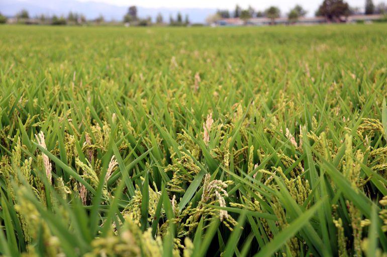 Pla general d'un arrossar a Amposta amb bona part de la planta afectada pel fong pericularia, a principis d'agost.
