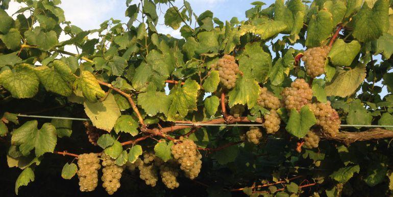 La lluvia frena una vendimia con exceso de uva