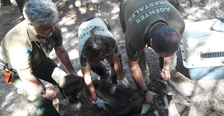 Agentes forestales inmovilizan al animal este miércoles