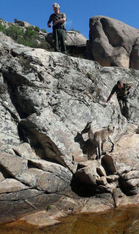 La cabra rescatada en el río Manzanares