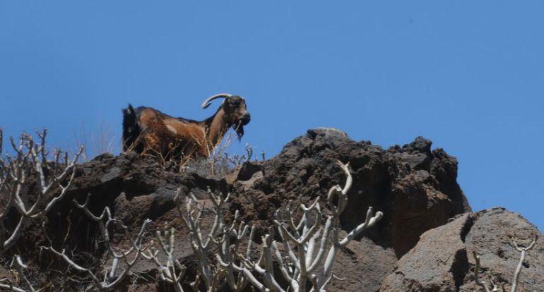 Cabras asilvestradas en Anaga
