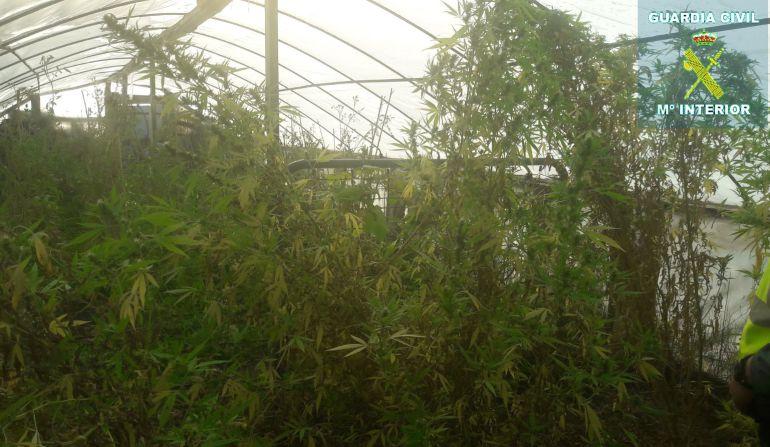 Invernadero con plantación de marihuana en Almazán