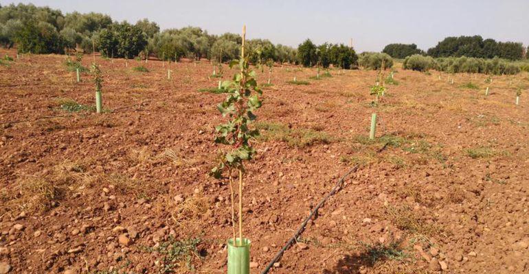 Plantación de pistacho en la provincia de Jaén.