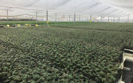 Plantas de pistacho en un invernadero.