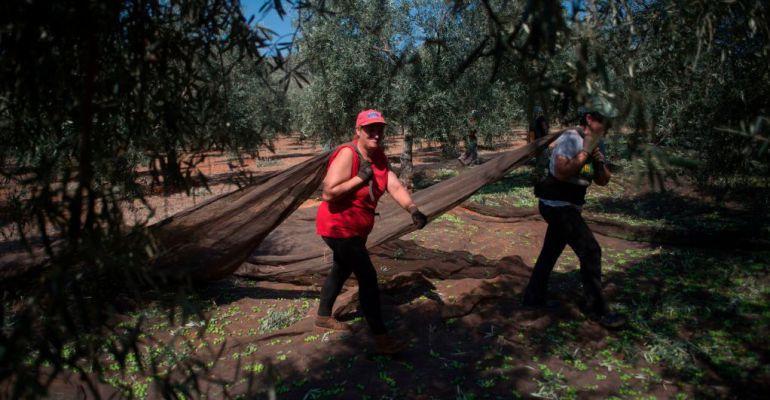 Una mujer arrastra un fardo en la campaña de recogida de aceitunas