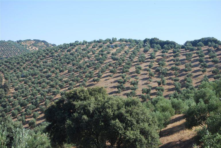 Los olivares solo aguantan si está dotados de riego por goteo