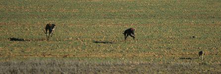 Comienza la temporada de caza con galgo