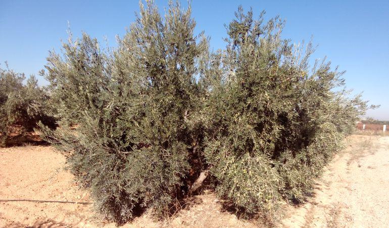 La sequía y las altas temperaturas golpean a la aceituna