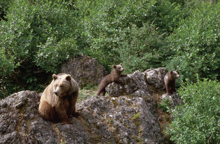La FOP pide regular el turismo en torno al oso para evitar acosos como el ocurrido en el Alto Sil