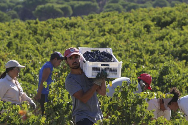 La producción de uva en Ribera se hunde, mientras que Rueda resiste