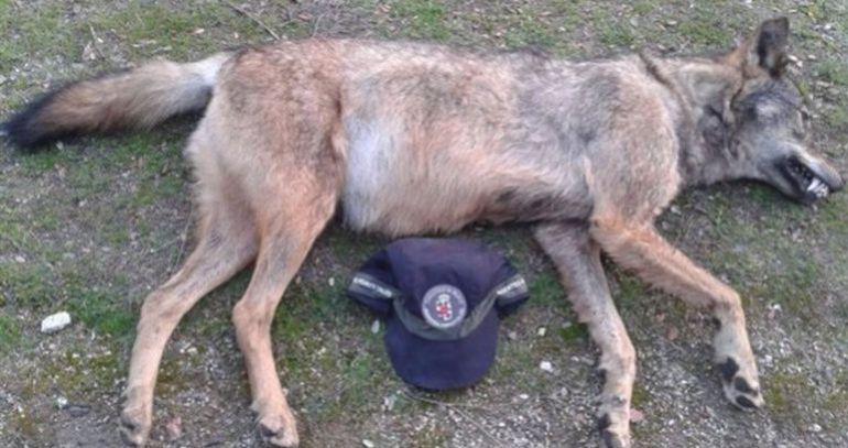 Lobo atropellado en el mes de agosto en la A-1