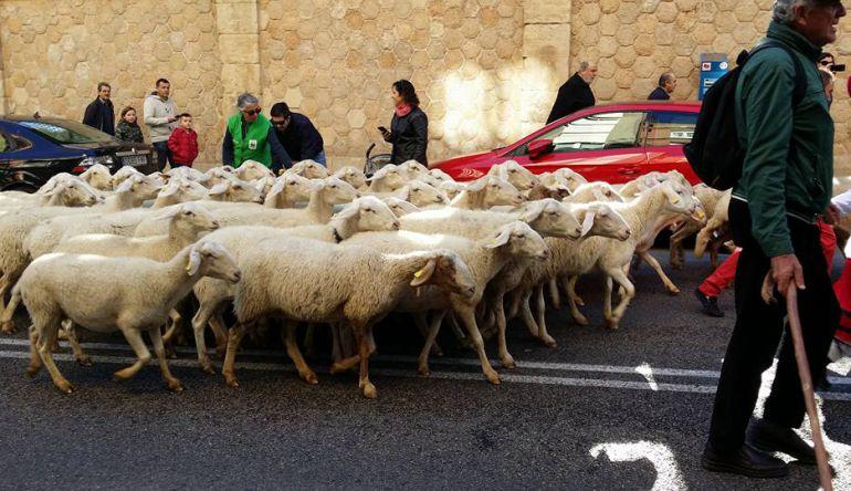Paseo ovejas calles Guadalajara dentro de la V edición de las Jornadas de vías pecuarias y ganadería extensiva.