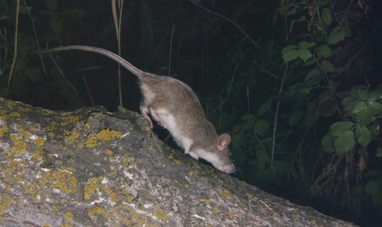 RATAS MÁLAGA BARRIOS: Vecinos de algunos barrios de Málaga denuncian que están invadidos de ratas
