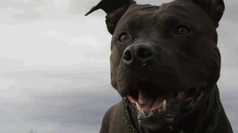 American Pitbull Terrier.