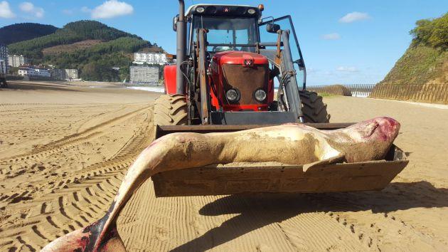 Aparece muerto un cachalote en la playa de Bakio