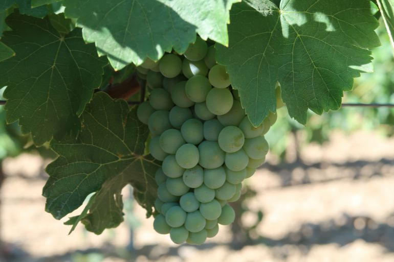 El Día Europeo del Enoturismo pone en valor la uva verdejo de la zona