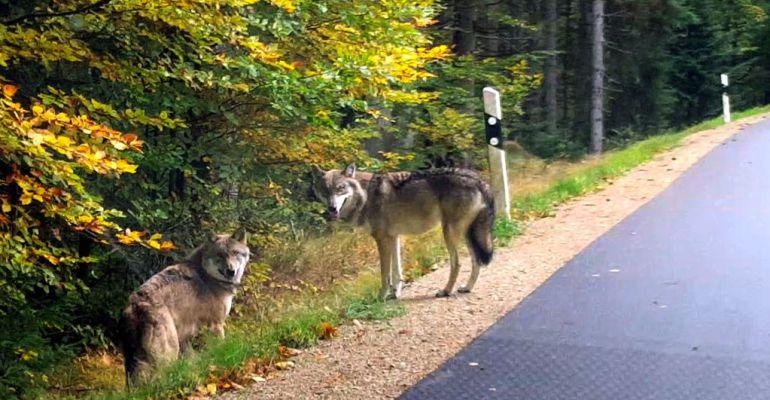 Lobos a pie de carretera