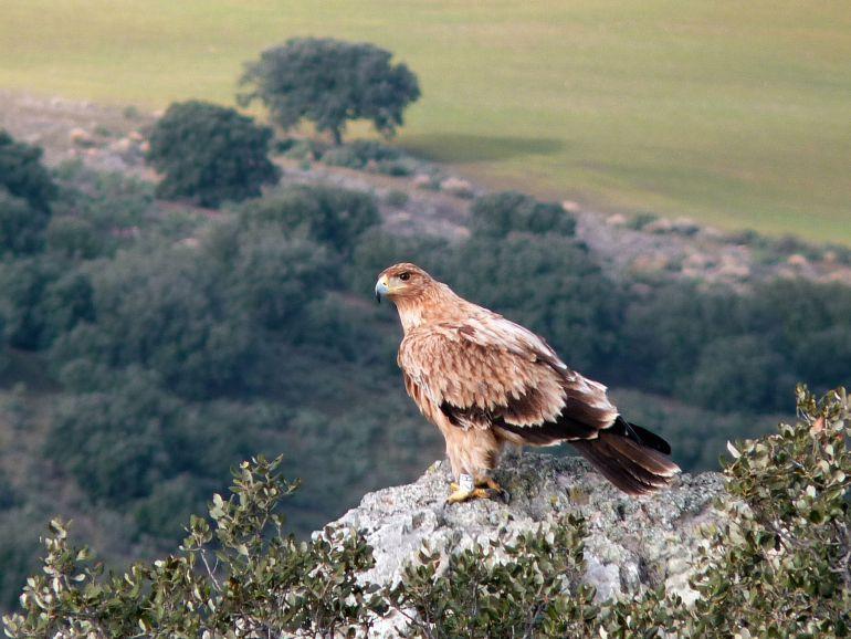 La provincia de Jaén tiene el mayor número de parejas de águila imperial de Ándalucía