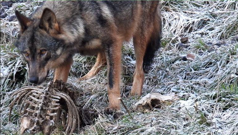 Ganaderos de Amieva se encierran para protestar por los daños del lobo