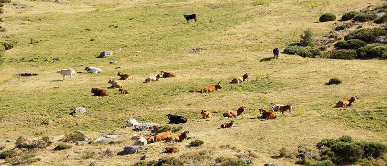 Vacas pastando en una zona de sierra