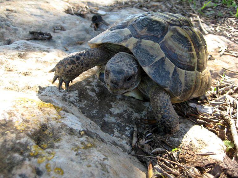 Primeras crias de tortuga mediterránea