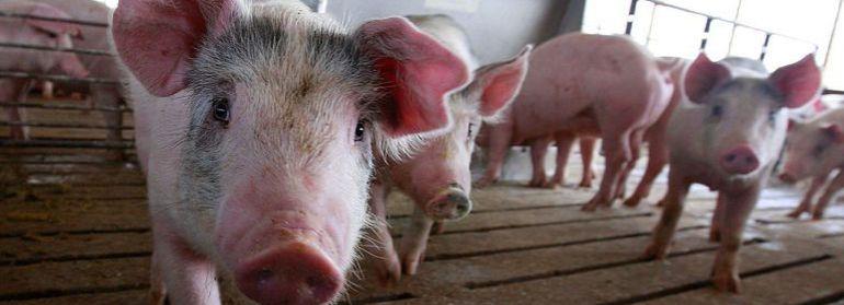 'CLM Stop Macrogranjas' contra la burbuja de las explotaciones de cerdos