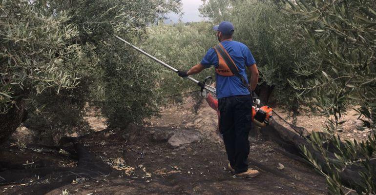 Una persona trabajando durante la campaña de la aceituna.
