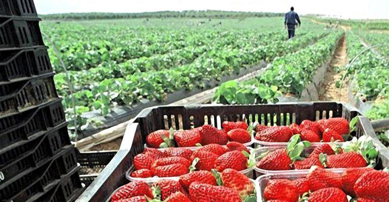 Fresas recogidas en un campo de Huelva.