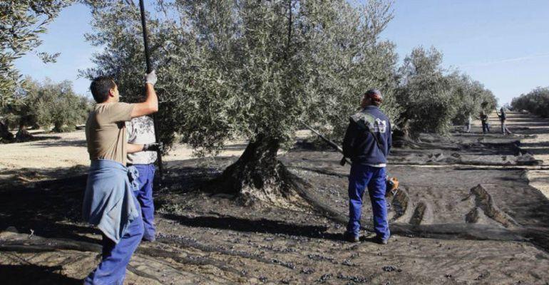 La recogida de la aceituna supone miles de jornales en Andalucía