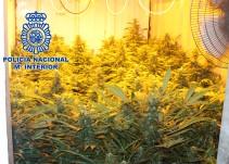 Los rebuznos de un burro llevan a la policía a una plantación de marihuana