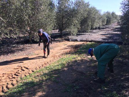 El olivar, fuente de riqueza en la provincia de Córdoba