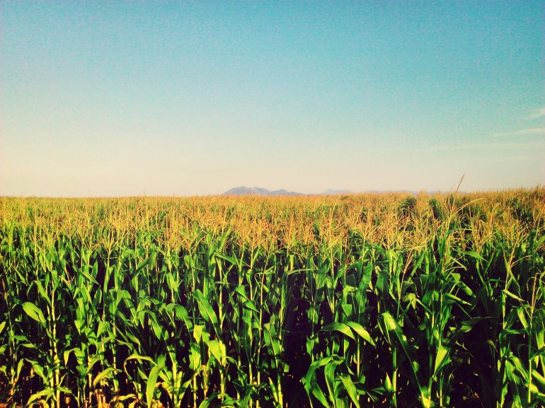 Campo de maiz.