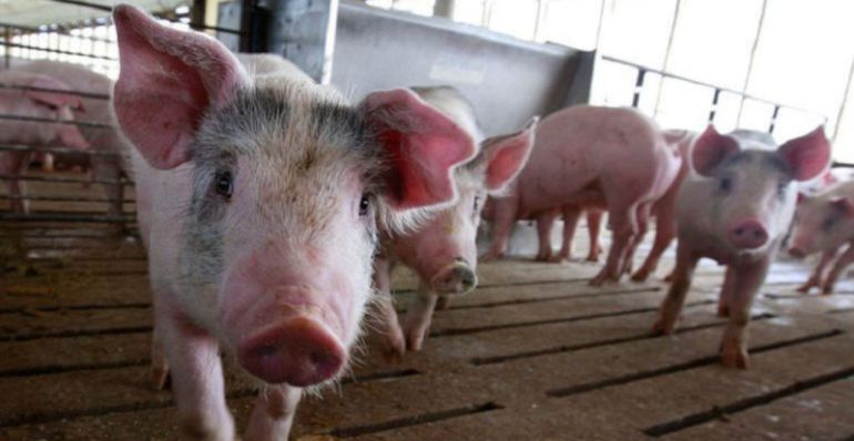 Autorización ambiental para una granja porcina de 7.200 plazas en Quero