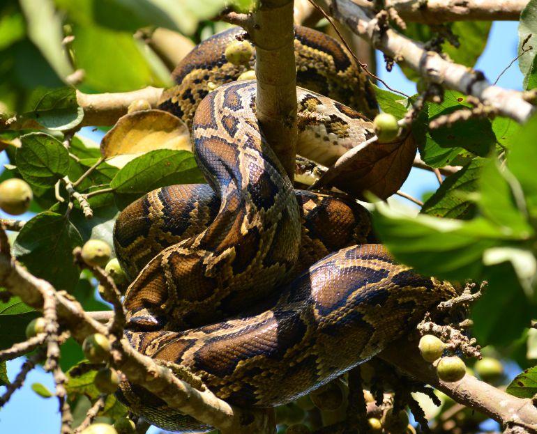 Una serpiente pitón en un árbol