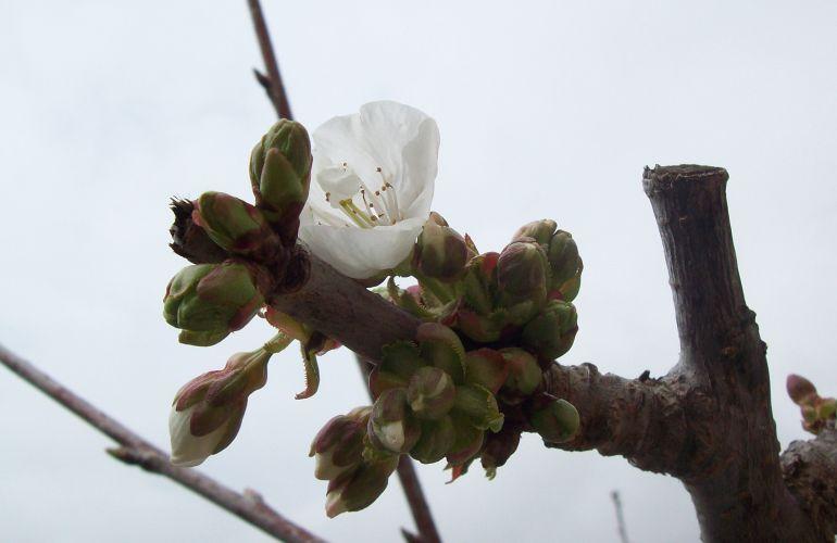 Cerezo al inicio de la floración