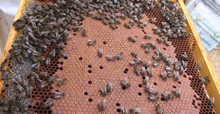 Cientos de abejas en un panal.