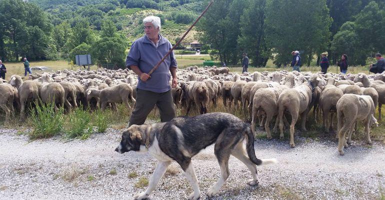 Un pastor trashumante de la provincia con su rebaño de ovejas.